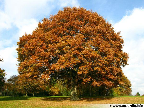 Pas de doute il s'agit d'un arbre et d'un chêne avec ses couleurs d'automne !