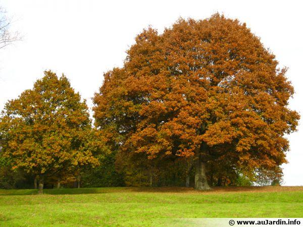 Majestueux, un chêne isolé sur une pelouse dans un grand jardin