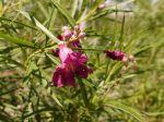 Saule du désert, Chilopsis linearis 'Burgundy'