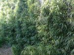 Bambou carré, Chimonobambusa quadrangularis
