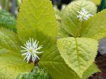 Chloranthe du japon, Chloranthus japonicus