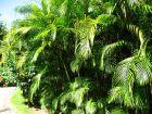 Aréca, Palmier d'arec, Palmier doré, Chrysalidocarpus lutescens