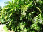 Areca, Chrysalidocarpus lutescens