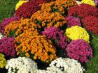 Chrysanth�me des fleuristes, Chrysanthemum hortorum