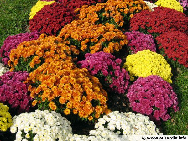 Chrysanthème des fleuristes