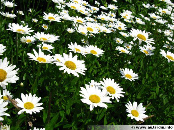 Grande marguerite chrysanthemum maximum conseils de culture - Image fleur marguerite ...