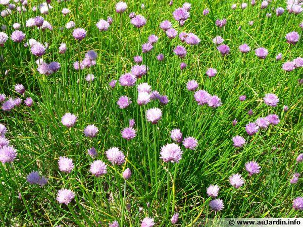 Ciboulette en fleurs; arrivée à maturité en été, les graines peuvent être récoltées pour être semées