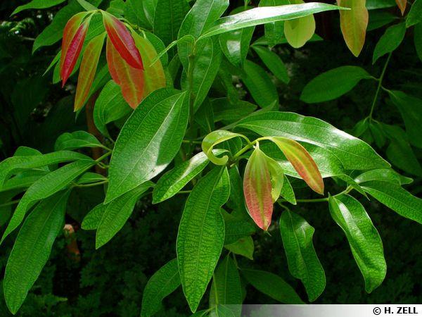 La cannelle (Cinnamomum verum) est une épice issue de l'écorce du cannelier