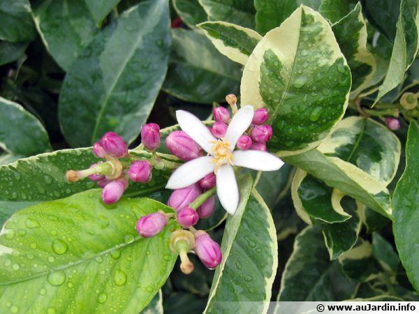 Fleurs du citronnier des quatre saisons
