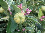 Fruits en développement sur une forme panaché du citron des quatre saisons
