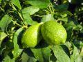Limettier, Citron vert, Lime acide, Citrus aurantifolia