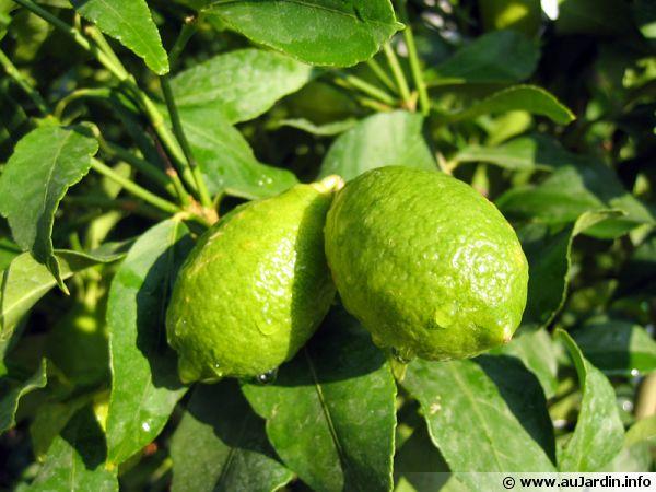 limettier citron vert lime acide citrus aurantifolia. Black Bedroom Furniture Sets. Home Design Ideas