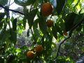 L'eau de fleur d'oranger