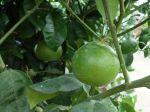 Bergamotier (Bergamote), Citrus bergamia