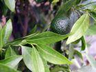Mandarinier (Mandarine), Citrus deliciosa