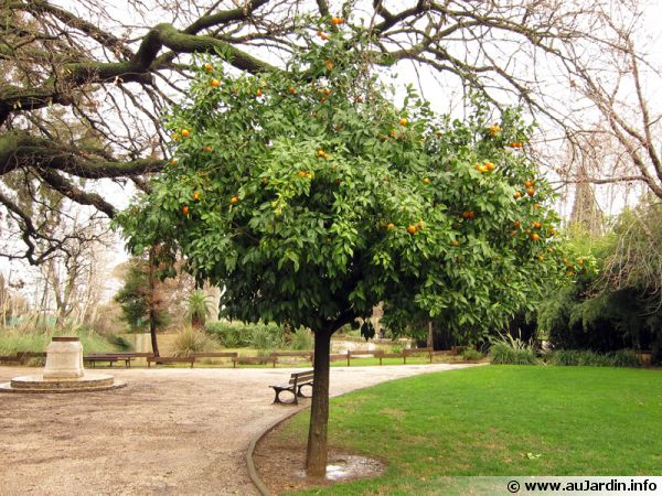 Des clémentiniers dans un parc à Hyères les palmiers