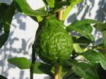 Combava, Limettier hérissé, Papeda de Maurice, Citrus hystrix