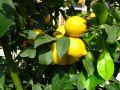 Citronnier (Citron), Limonier, Citrus limon