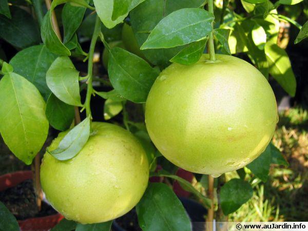 Pomelo, Citrus paradisi