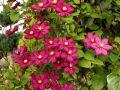 La taille des clématites à grandes fleurs