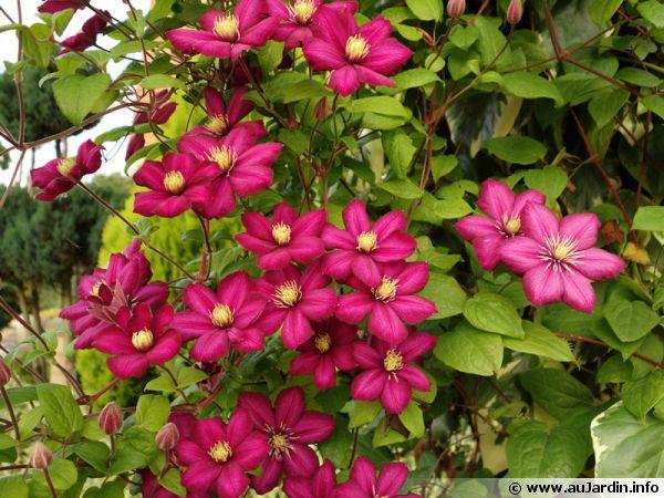 Une clématite aux grandes fleurs