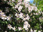 Clématites à petites fleurs