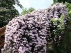 La taille des clématites à petites fleurs