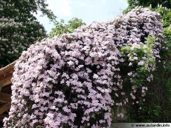 La clématite des montagnes (Clematis montana), une clématite à petites fleurs