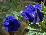 Pois papillon, Pois bleu, Clitorie de ternate, Clitoria ternatea