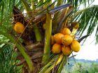 Cocotier, Cocos nucifera