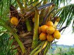 Cocotier, Cocos nucifera aux antilles avec ses fameuses noix de coco