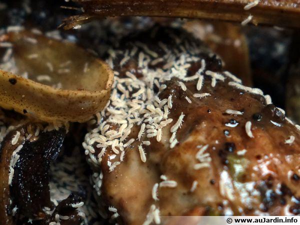 Nombreux collemboles dans un compost