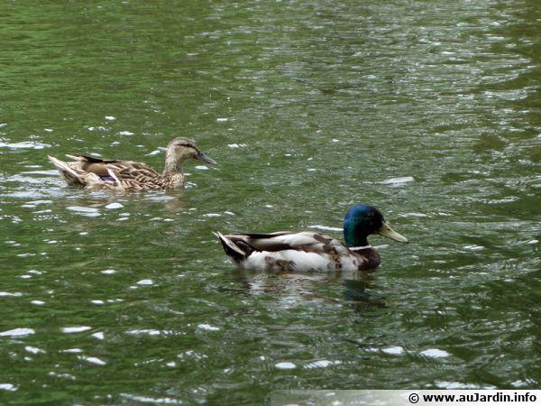 Un couple de colvert en balade sur un plan d'eau