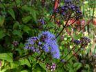 Agératum sauvage, Eupatoire à fleurs d'agératum, Conoclinium coelestinum