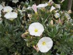 Convolvulus cneorum, Liseron de Turquie