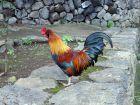 Adopter une poule dans le jardin