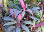 Epinard hawaïen, Ti-plant, Roseau des indes, Cordyline fructicosa