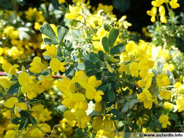 Coronille glauque, Coronilla valentina ssp glauca