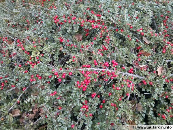 Fruits du Coton�aster horizontalis