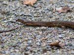 La couleuvre vipérine, un serpent inoffensif de zones humides