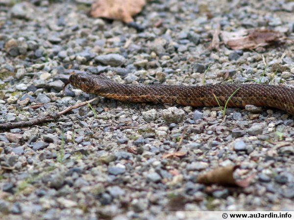 La couleuvre vipérine, un serpent de zones humides à protéger