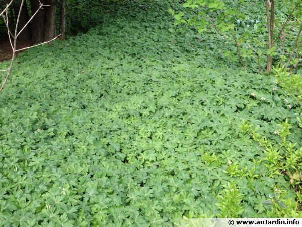 Le géranium vivace fait un bon couvre-sol