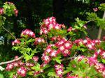 Histoires de plantes, magnolia, olivier, lilas et aubépine