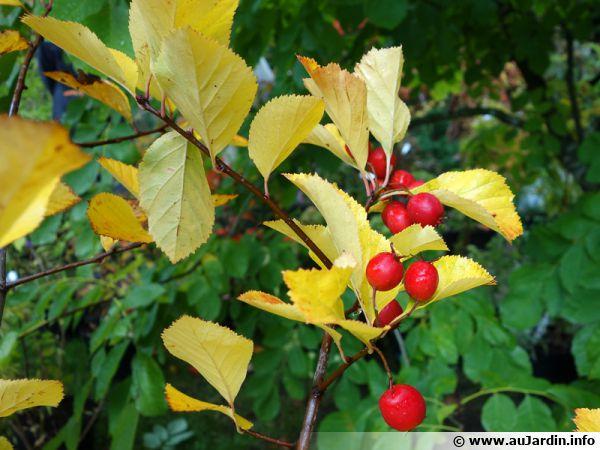 Aubépine Splendens, Crataegus x prunifolia 'Splendens'