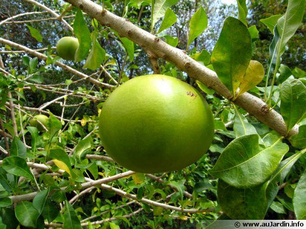 Calebassier, Arbre à calebasses, Crescentia cujete : planter, cultiver