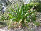 Lis des marais, Lis des mangroves, Crinum géant, Crinum pedunculatum