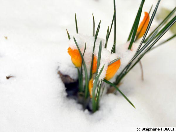 Crocus sous la neige