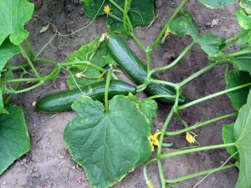 Concombre, Cornichon : planter, cultiver, récolter