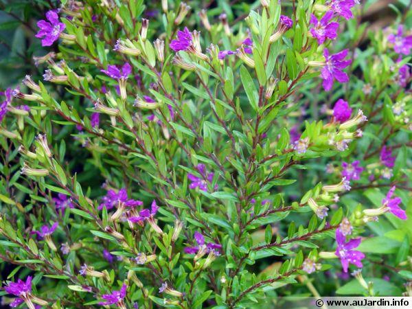 Fausse bruy re toile du mexique bruy re mexicaine cuphea hyssopifolia - Plante du mexique ...