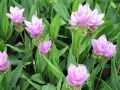 Curcuma rose, Safran des Indes, Tulipe thaïlandaise, Curcuma alismatifolia